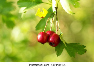 Hawthorns - Crataegus are among medicinal plants containing Flavonoids, otherwise called bioflavonoids or vitamin P.