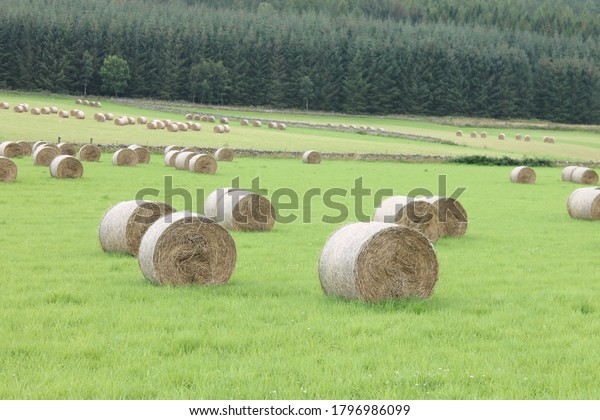Hay bales in a field with forest in background copy space