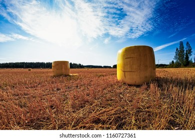 The hay bales have yellow plastic wrappings over them in the Northern Finland. It's harvest time.