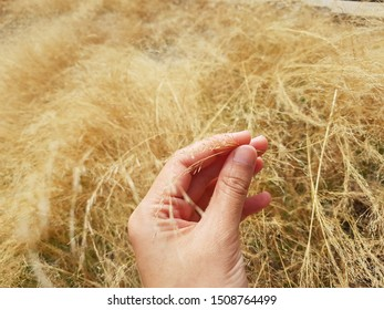 Hay or dry grasses (gold grass color) on hand, touch some grasses. Feel lonely and nature