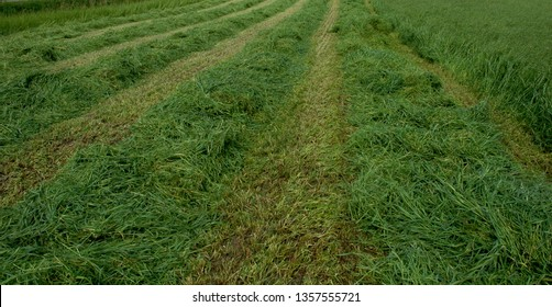 Hay field in hay-making season. Hay cut by mower. Meadow grass and timothy are the plants for harvest