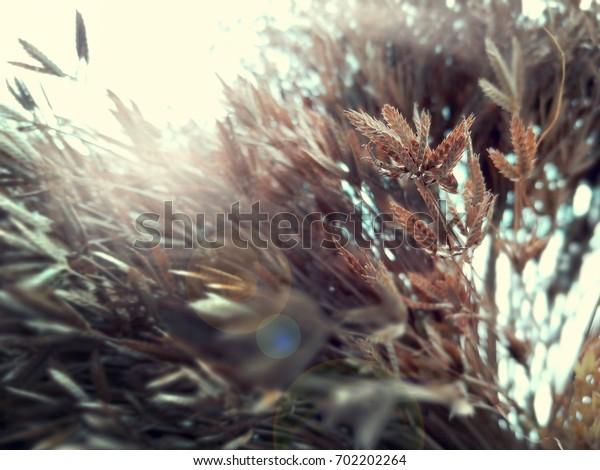 Hay flower shooting back light