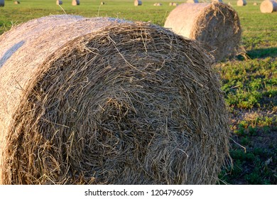 hay rolls for animal feed on the field in summer, feed for cows and sheep, in the foreground roll with dry grass