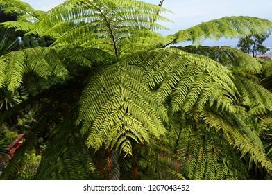 Hay-scented fern (Dennstaedtia punctilobula).