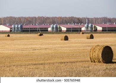Haystacks in a field. Pig farm buildings