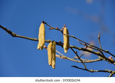 Hazel catkins, a beautiful sign in early springtime