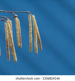 Hazel catkins closeup by a cleablue sky