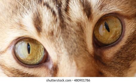 hazel cats eyes