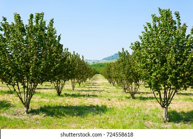 Hazel cultivation from Langhe region, Italy. Italian agriculture. Unesco world heritage site.