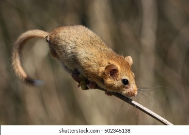 Hazel doormouse sitting on a twig