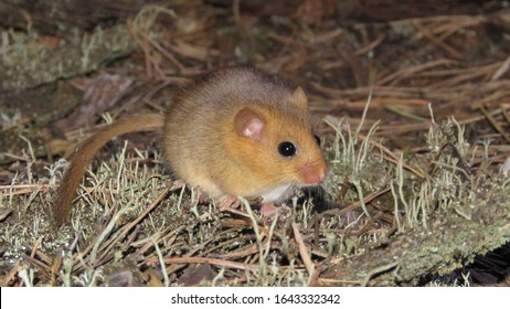 Hazel dormouse or common dormouse (Muscardinus avellanarius)