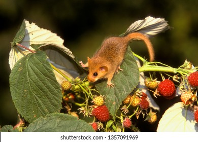 hazel dormouse eating