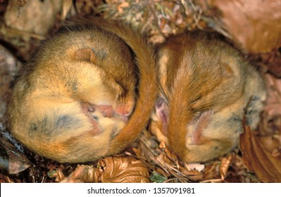Hazel Dormouse in hibernation