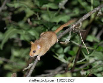 Hazel dormouse  (Muscardinus avellanarius) in the forest