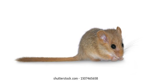 Hazel dormouse  (Muscardinus avellanarius), isolated on white background