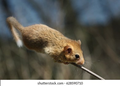 Hazel dormouse sitting on a twig. A rare European rodent inhabiting beech forests. Cute, but endangered species living in beech forests on a close up picture in its natural habitat.