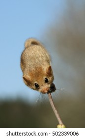 Hazel dormouse sitting on a twigg