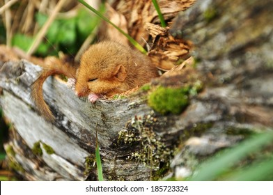 Hazel dormouse(Muscardinus avellanarius) sleeping in an old tree, not a production shot, Carpathian mountains, Ukraine