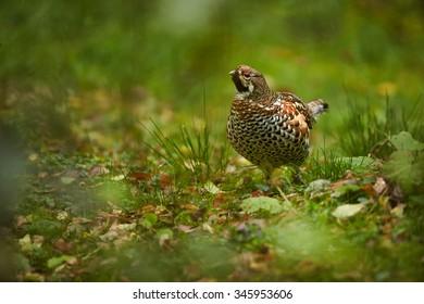 Hazel Grouse Bonasa bonasia carefully listening in autumn meadow somewhere in deep european forest.