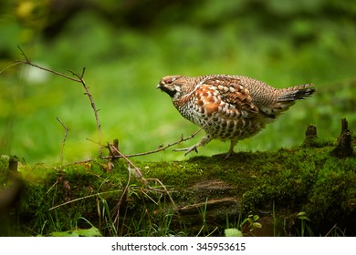 Hazel Grouse Bonasa bonasia in close distance calmly sitting on old mossy trunk in autumn deep european forest