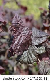 Hazel Red Majestic - Latin name - Corylus avellana Red Majestic