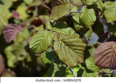 Hazel Red Majestic leaves - Latin name - Corylus avellana Red Majestic