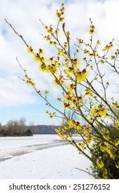 Hazel shrub bloom with yellow flowers in snow landscape