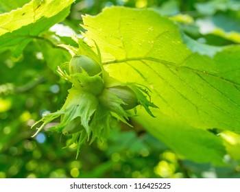 Hazelnut with green leaves on a hazel grove branch. Shallow depth-of-field.