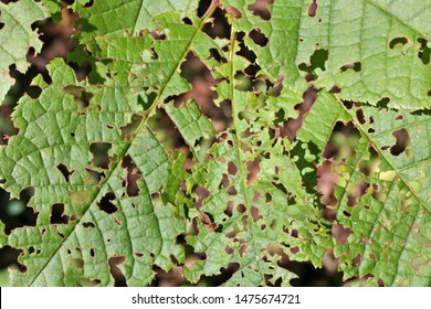 Hazelnut leaves are damaged by walnut moth    caterpillars    and    harmful    bugs
