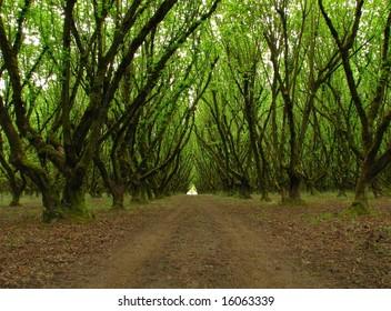 Hazelnut Orchard