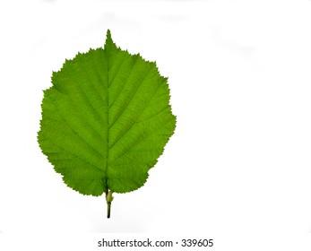Hazelnut tree leaf