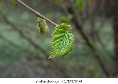 hazelnut tree leaves líska listy Corylus avellana  - Shutterstock ID 1714378474