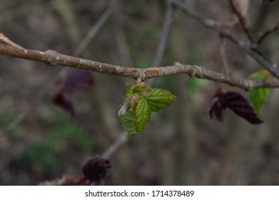 hazelnut tree leaves líska listy Corylus avellana  - Shutterstock ID 1714378489