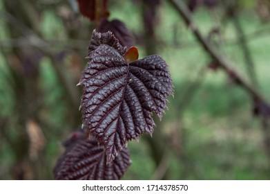 hazelnut tree leaves líska listy Corylus avellana  - Shutterstock ID 1714378570