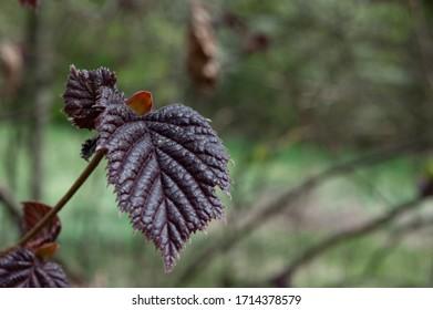 hazelnut tree leaves líska listy Corylus avellana  - Shutterstock ID 1714378579