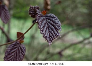 hazelnut tree leaves líska listy Corylus avellana  - Shutterstock ID 1714378588
