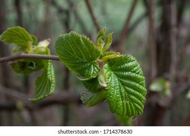 hazelnut tree leaves líska listy Corylus avellana  - Shutterstock ID 1714378630