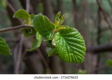 hazelnut tree leaves líska listy Corylus avellana  - Shutterstock ID 1714378633