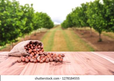 Hazelnuts, filbert in jute burlap sack bag on wooden table. Backdrop is hazelnut trees.