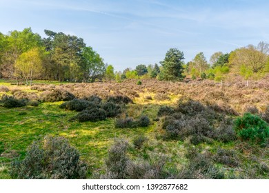 A hazy, bright, spring morning on Budby Moor, dotted with clumps of heather, looking towards Sherwood Forest.