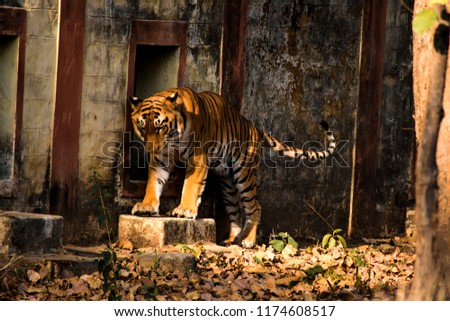 Hd Wallpaper Big Tiger Tiger Largest Stock Photo Edit Now