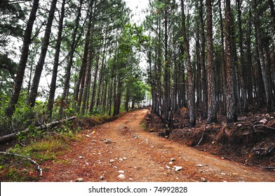 HDR photo of a dirt road in the middle of an old pine forest