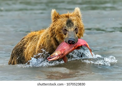 he bear and the salmon caught - Kamchatka, Russia. August: Photo taken on the Kurile Lake.The Kurile Lake is the largest riprodution red salmon site in the Euroasian continent.