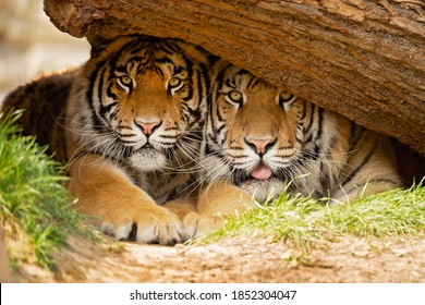 he Bengal tiger is a tiger from a specific population of the Panthera tigris tigris subspecies that is native to the Indian subcontinent