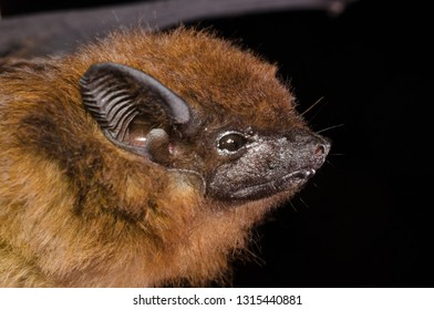 he chestnut sac-winged bat, or Wagner's sac-winged bat (Cormura brevirostris) is a species of sac-winged bat native to South and Central America. It is the only species within its genus.
