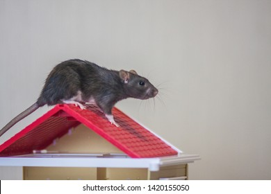 he concept of buying a roof. New roof. Material for the roof. Mouse upstairs. Rat upstairs.