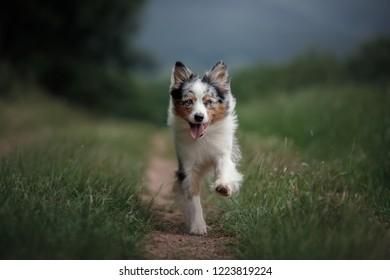 he dog is running in the field. Australian Shepherd in nature in the park. Active Pet for a walk