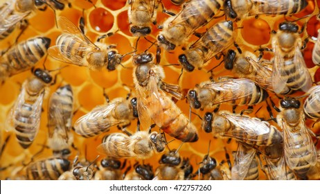 he queen bee surrounded by bees: that support and feed