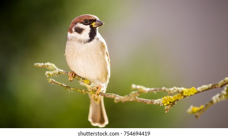 He is sparrow on the tree.