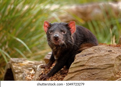 he Tasmanian devil (Sarcophilus harrisii) is a carnivorous marsupial of the family Dasyuridae. It was once native to mainland Australia and is now found in the wild only on the island state of Tasmani